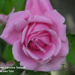 Rosa  'Climbing Mme Caroline Testout'  - Rosa  'Climbing Mme Caroline Testout'  - Roos, klimroos