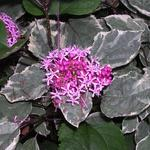 Clerodendrum bungei 'Pink Diamond' - Clerodendrum bungei 'Pink Diamond' - Kansenboom, Pindakaasstruik