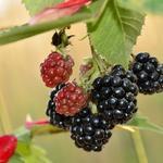Rubus fruticosus 'Black Satin' - Braambes - Rubus fruticosus 'Black Satin'