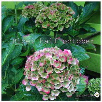 Hydrangea macrophylla 'MAGICAL Amethyst Blue' -