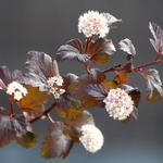 Physocarpus opulifolius 'Diabolo' - Blaasspirea - Physocarpus opulifolius 'Diabolo'