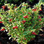 Vaccinium vitis-idaea 'Red Candy' - Vossenbes, rode bosbes - Vaccinium vitis-idaea 'Red Candy'