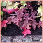 Heuchera 'Purple Petticoats' - Purperklokje - Heuchera 'Purple Petticoats'
