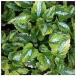 Gevlekte dovenetel - Lamium maculatum 'Anne Greenaway'
