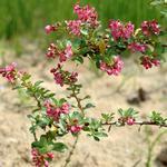 Escallonia 'Donard Seedling' - Escallonia - Escallonia 'Donard Seedling'