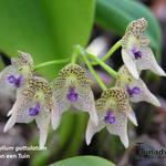 Bulbophyllum guttulatum - Bulbophyllum guttulatum - Orchidee
