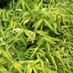 Dwergbamboe - Pleioblastus viridistriatus