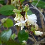 Sneeuwforsythia, Witte forsythia - Abeliophyllum distichum