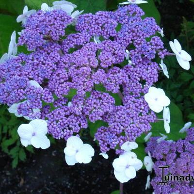 Hydrangea aspera 'Macrophylla' - Fluweelhortensia - Hydrangea aspera 'Macrophylla'