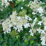 Hydrangea 'Inovalaur' - Klimhortensia - Hydrangea 'Inovalaur'