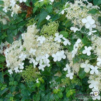 Hydrangea 'Inovalaur' -