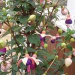 Fuchsia 'Lambada' - Fuchsia 'Lambada' - Bellenplant