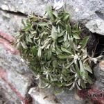 Antennaria dioica var. borealis 'Senior' - Antennaria dioica var. borealis 'Senior' - Rozenkransje