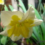 Narcissus ´Smiling Twin´  -