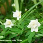 Anemone nemorosa 'Alba Plena'  - Anemone nemorosa 'Alba Plena'  - Bosanemoon