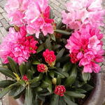 Rhododendron yakushimanum 'Kalinka' - Rhododendron yakushimanum 'Kalinka' - Rododendron