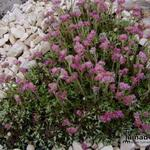 Antennaria dioica 'Roy Davidson' - Antennaria dioica 'Roy Davidson' - Poezetenen