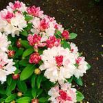 Rhododendron yakushimanum 'Dreamland' - Rododendron - Rhododendron yakushimanum 'Dreamland'