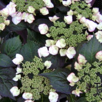 Hydrangea macrophylla 'Charme' -