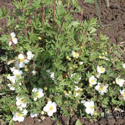 Potentilla fruticosa 'Tilford Cream' -
