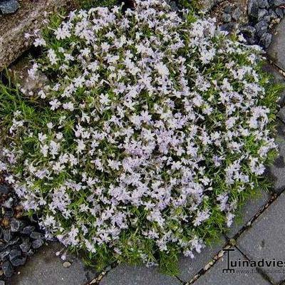 Phlox subulata 'EARLY SPRING Lavender' -