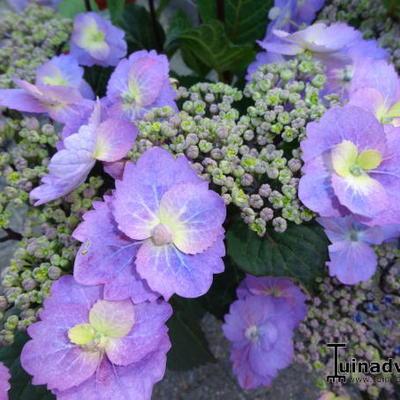 Hydrangea macrophylla FLAIR & FLAVOUR 'Blueberry Cheesecake' -