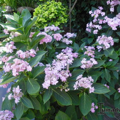 Hydrangea macrophylla 'You & Me ®Forever' -