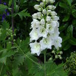 Delphinium 'MAGIC FOUNTAIN Pure White' - Ridderspoor - Delphinium 'MAGIC FOUNTAIN Pure White'