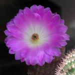 Echinocereus rigidissimus subsp. rubispinus (Echinocereus pectinatus var. rubrispinus) - Echinocereus rigidissimus subsp. rubispinus (Echinocereus pectinatus var. rubrispinus) - Regenboogcactus