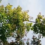 Cotinus coggygria 'Golden Spirit' - Pruikenboom - Cotinus coggygria 'Golden Spirit'