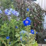 Phacelia viscida compacta 'Blue Foam' - Phacelia viscida compacta 'Blue Foam' - Californische klokjes, Schotelbijenvoer, Droombijenvoer