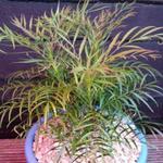 Mahonia eurybracteata 'Soft Caress' - Mahonia eurybracteata 'Soft Caress' - Chinese mahoniestruik