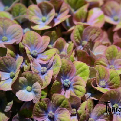 Hydrangea macrophylla 'MAGICAL Coral Blue' -