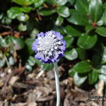 Primula capitata subsp. mooreana - Sleutelbloem - Primula capitata subsp. mooreana