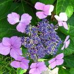 Hortensia - Hydrangea macrophylla 'Blue Wave'