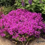 Kruiptijm - Thymus praecox 'Red Carpet'