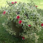 Dorotheanthus bellidiformis 'Mezoo Trailing Red' -