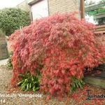 Acer palmatum 'Orangeola' - Acer palmatum 'Orangeola' - Japanse esdoorn