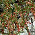 Cotoneaster procumbens 'Queen of Carpets' - Dwergmispel - Cotoneaster procumbens 'Queen of Carpets'