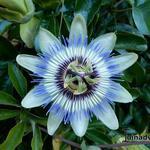 Passiflora caerulea - Passiebloem - Passiflora caerulea