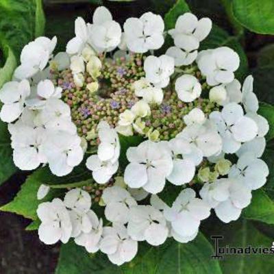 Hydrangea macrophylla 'Benxi' -