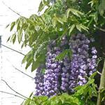 Blauwe regen - Wisteria floribunda 'Black Dragon'