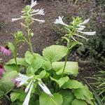 Hosta plantaginea 'Grandiflora' - Hartlelie - Hosta plantaginea 'Grandiflora'