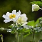 Japanse anemoon / herfstanemoon - Anemone x hybrida 'Honorine Jobert'