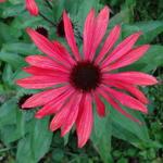 Echinacea 'Solar Flare' - Echinacea 'Solar Flare' - Rode zonnehoed