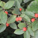Cotoneaster franchetii - Dwergmispel - Cotoneaster franchetii