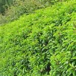 Portugese Laurier - Prunus lusitanica