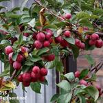 Malus 'Red Sentinel' - Sierappel - Malus 'Red Sentinel'