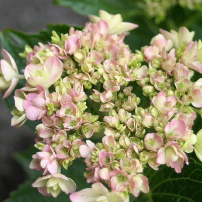 Hydrangea macrophylla ENDLESS SUMMER 'Twist-n-Shout' -