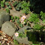 Potentilla fruticosa 'Pink Beauty'  - Struikganzerik - Potentilla fruticosa 'Pink Beauty'